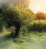 Дерево вербы Стоковое Изображение RF