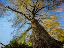 Дерево вербы Стоковые Фотографии RF