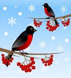 Дерево ветви с золой ягоды одичалыми и bullfinch птицы бесплатная иллюстрация