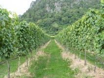 Дерево виноградины Стоковые Изображения RF