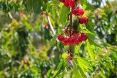 Дерево вишен, вишни на ветви дерева Стоковое фото RF