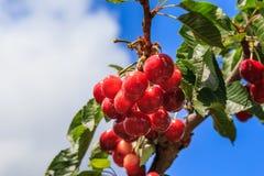 Дерево вишен, вишни на дереве Стоковая Фотография RF