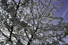 Дерево вишневого цвета в весеннем времени Стоковое Изображение RF
