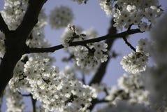 Дерево вишневого цвета в весеннем времени Стоковые Изображения