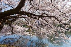 Дерево вишневого цвета в Shinjuku Gyoen, токио Стоковое Изображение
