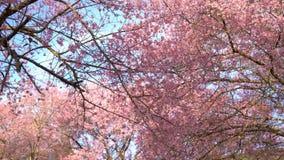 Дерево вишневого цвета акции видеоматериалы