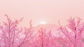 Дерево вишневого цвета Сакуры перед behiind захода солнца гора, Стоковая Фотография RF