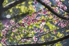 Дерево вишневого цвета с зеленой предпосылкой дерева Стоковое Фото