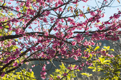Дерево вишневого цвета с зеленой предпосылкой дерева Стоковые Изображения