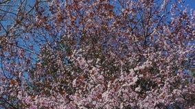 Дерево вишневого цвета с розовыми и красными цветками на предпосылке голубого неба акции видеоматериалы