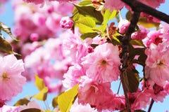 Дерево вишневого цвета стоковое изображение
