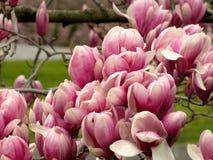 Дерево вишневого цвета Стоковые Фото