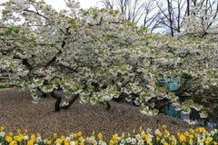Дерево вполне цветений за кроватью daffodils стоковые изображения rf