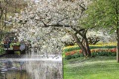 Дерево вполне цветений с тюльпанами и narcissus под близко стоковая фотография
