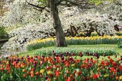 Дерево вполне цветений с тюльпанами и narcissus underneath стоковое изображение