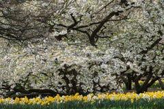Дерево вполне цветений с narcissus underneath стоковая фотография rf