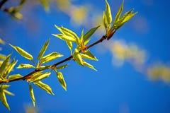 Дерево выходит весной с голубым небом Стоковые Фото