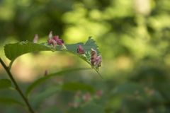 Дерево выходит заболевание Кнопперс причинил лептой пузыр-кнопперса или quadripedes Vasates на зеленых листьях стоковая фотография rf