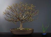 Дерево вяза бонзаев весны Стоковое Фото