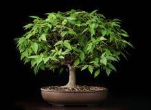 Дерево вяза лета бонзаев Стоковое Изображение
