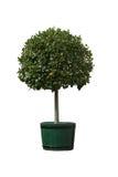 Дерево в баке стоковые фотографии rf
