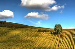 Дерево в виноградниках Стоковая Фотография RF