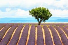 Дерево в зацветая поле лаванды Стоковое фото RF