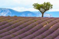 Дерево в зацветая поле лаванды Стоковые Изображения