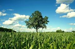 Дерево в зеленом кукурузном поле Стоковые Изображения