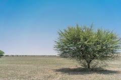 Дерево в оазисе пустыни Namib anisette Стоковое Изображение RF