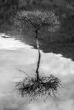 Дерево в озере Стоковые Изображения RF