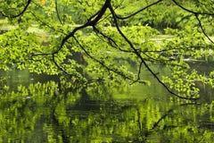 Дерево в парке отраженном в пруде стоковые фото