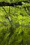 Дерево в парке отраженном в пруде стоковое фото rf