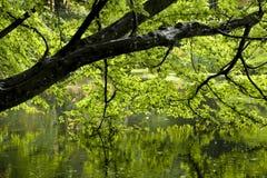 Дерево в парке отраженном в пруде стоковые изображения