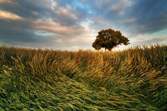 Дерево в поле, южная Моравия, чехословакская Стоковое Изображение