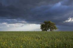Дерево в поле Стоковые Фотографии RF