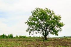 Дерево в поле Стоковая Фотография RF