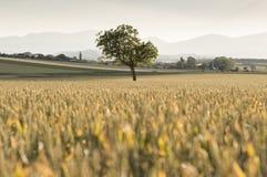 Дерево в пшенице Стоковые Фотографии RF