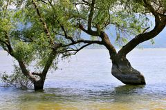 Дерево в реке стоковые изображения rf