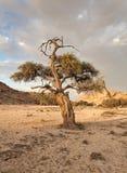 Дерево в русле реки данника реки Swakop, Намибии Стоковая Фотография
