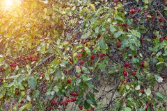 Дерево в саде с китайскими яблоками рая, китайское дерево racha, очень, ботаническое стоковое изображение rf