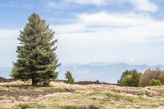 Дерево в солнечном дне в вулканическом поле стоковые фотографии rf
