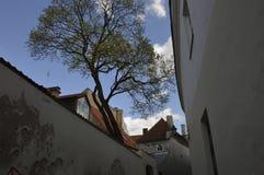 Дерево в старом городке в Вильнюсе стоковое фото rf