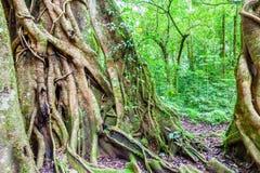 Дерево в тропическом тропическом лесе Стоковая Фотография RF
