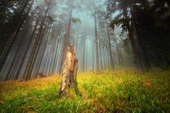 Дерево в туманном лесе Стоковое Изображение RF