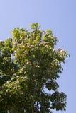 Дерево в цветении, с розовыми цветками Стоковое Изображение RF