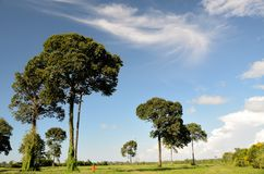 Дерево гайки Бразилии Стоковое Изображение RF
