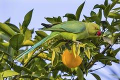 Дерево Галилея Израиль зеленого длиннохвостого попугая попугая оранжевое Стоковая Фотография RF