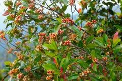 Дерево гвоздики с пряными сырцовыми цветками и ручками стоковые фотографии rf