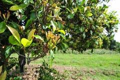 Дерево гвоздичного дерева с незрелыми гвоздичными деревьями на ем Стоковые Изображения RF